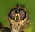 Flickr - Lukjonis - Fly predator - Asilidae (Portrait).jpg