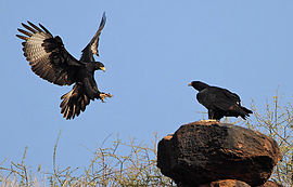 Flickr - Rainbirder - Verreaux's Eagle pair.jpg