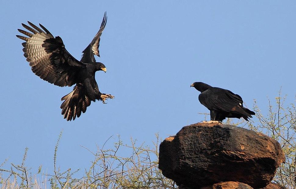Flickr - Rainbirder - Verreaux's Eagle pair