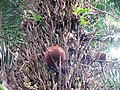 Flickr - brewbooks - Cannonball Tree (Couroupita guianensis) (2).jpg