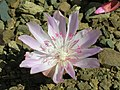 Flickr - brewbooks - Lewisia rediviva on Tronsen Ridge (2).jpg
