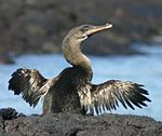 Flightless cormorant (Phalacrocorax harrisi) drying wings.jpg