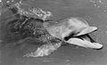 Flipper 1964 2.jpg