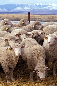 A research flock at U.S. Sheep Experiment Station near Dubois, Idaho
