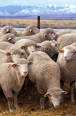 ������ ����� 250px-Flock_of_sheep