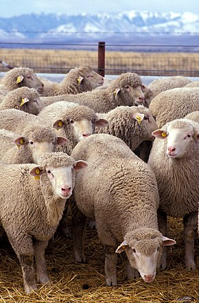 deux images pour un titre - Page 3 290px-Flock_of_sheep