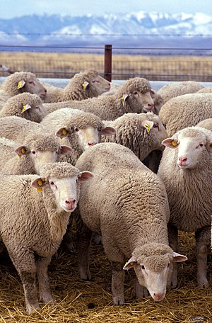 Sheep - A flock of sheep.