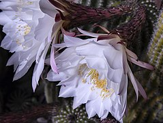 Flors d'echinopsis.jpg