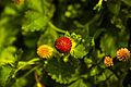 Flowers Nepal 10075.JPG