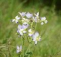 Flowers Of Kalenjimale.jpg