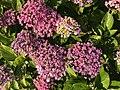 Flowers of Hydrangea macrophylla 20200621-1.jpg