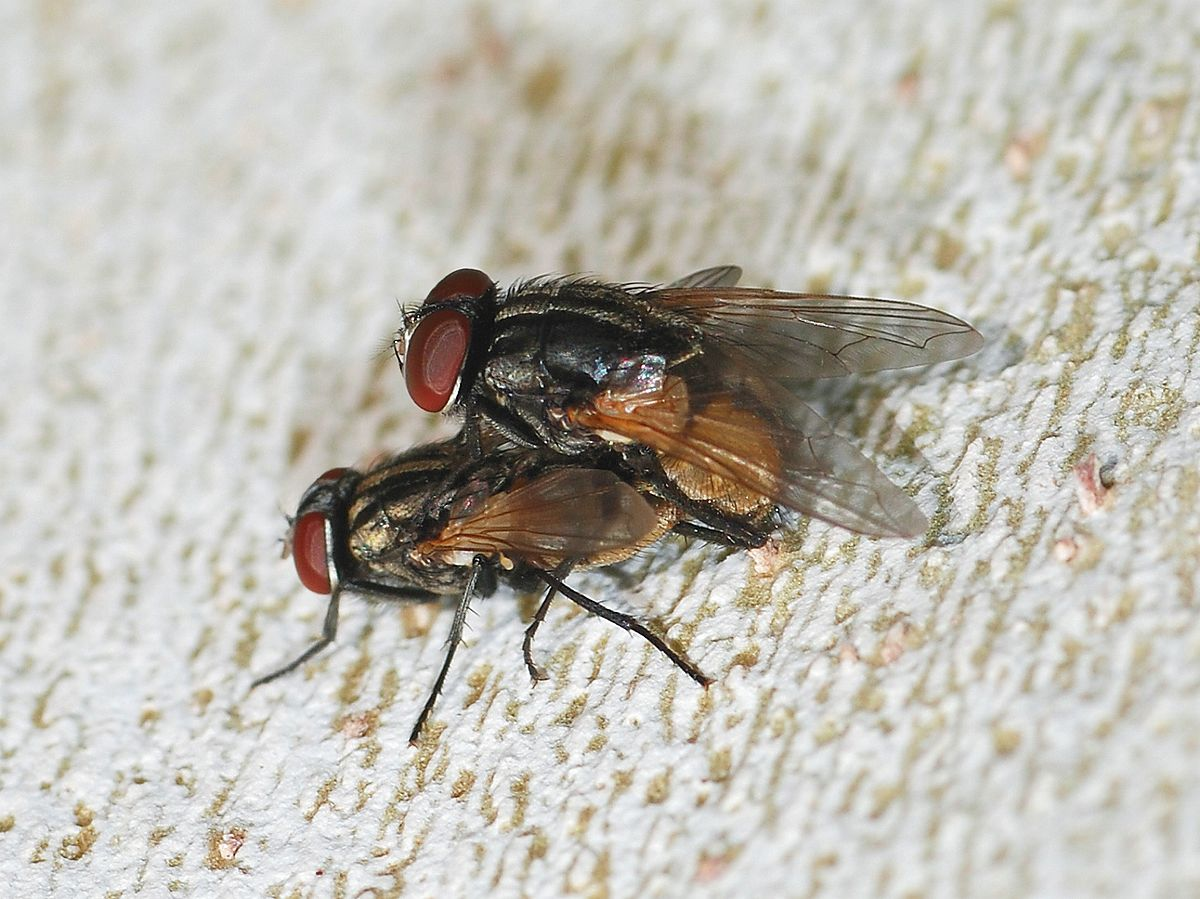 Musca Wikispecies