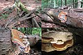 Fomitopsis pinicola (Red Belt Conk or Red-belted Bracket, D= Rotrandiger Baumschwamm, NL= Roodgerande houtzwam) with its habitat at Warnsborn - panoramio.jpg
