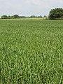 Footpath, hard to follow in wheat field. - geograph.org.uk - 183092.jpg