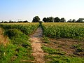 Footpath through the Maize - geograph.org.uk - 523460.jpg