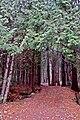 Forêt de Thuja occidentalis, Magog, Québec, Canada.jpg