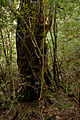 Forest in Yakushima 01.jpg