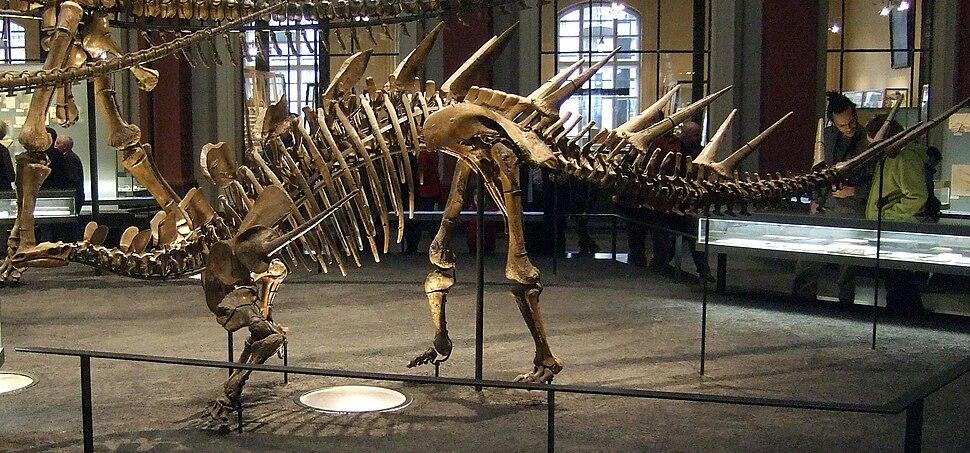 Fossil Kentrosaurus aethiopicus in Museum für Naturkunde Berlin 001