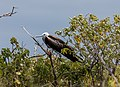 Fragata común (Fregata minor), isla Lobos, islas Galápagos, Ecuador, 2015-07-25, DD 55.JPG
