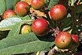 Frangula californica—RPBG CA.jpg