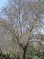 Fraxinus angustifolia.JPG