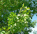Fraxinus velutina 2.jpg