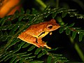 Frog Rhacophorus bipunctatus IMG 0635 01.jpg