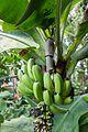 Fruchtstand Musa acuminata colla.jpg