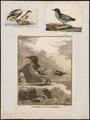 Fulmarus capensis - 1700-1880 - Print - Iconographia Zoologica - Special Collections University of Amsterdam - UBA01 IZ17900110.tif