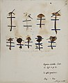 Fungi agaricus seriesI 021.jpg