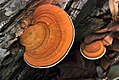 Fungo Orelha-de-pau (Pycnoporus sanguineus) - Fungus Pycnoporus sanguineus.jpg
