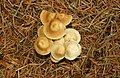Fungus, Hillsborough forest 08-18 - geograph.org.uk - 960232.jpg