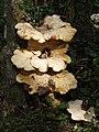 Fungus in Bunkershill Plantation - geograph.org.uk - 201474.jpg