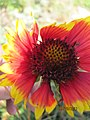Gaillardia aristata - Blanket Flower (6286132812).jpg