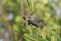 Galapagos Finch.jpg