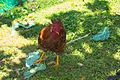 Galiña - Gallina - Chicken - Gallus gallus domesticus - 02.jpg