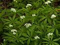 Galium odoratum, 2015-05-09, Trillium Trail, 02.jpg