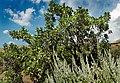 Gambel oak 1.jpg