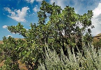 Quercus gambelii - Image: Gambel oak 1