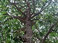 Garcinia xanthochymus (6944238334).jpg
