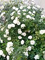 Gardens in Baghdad 55.jpg