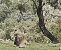 Gelada Baboon (2447515827).jpg