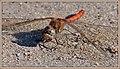 Gemeine Heidelibelle ♂ (45201594731).jpg