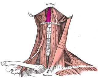 Geniohyoid muscle