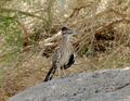 Geococcyx californianus 090628 06 cw.png