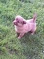 German Spitz puppy.jpg