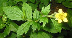 Herbatika-lekovito bilje  - Page 3 240px-Geum_urbanum_bgiu