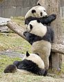 Giant Pandas Playing3.jpg