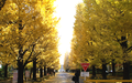 Ginkgo Avenue of Keio.png