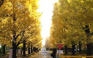 Hiyoshi - Strand of ginkgo trees at Keio University